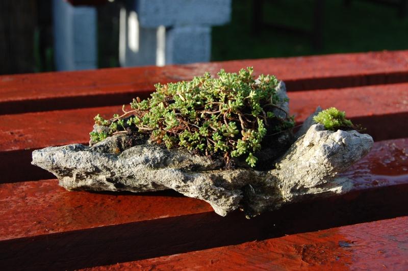 Kusamono Rock Plantings Dsc_0115