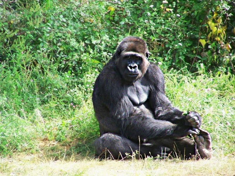 Gorille 100_5010