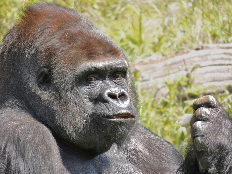 Gorille Dscn0710