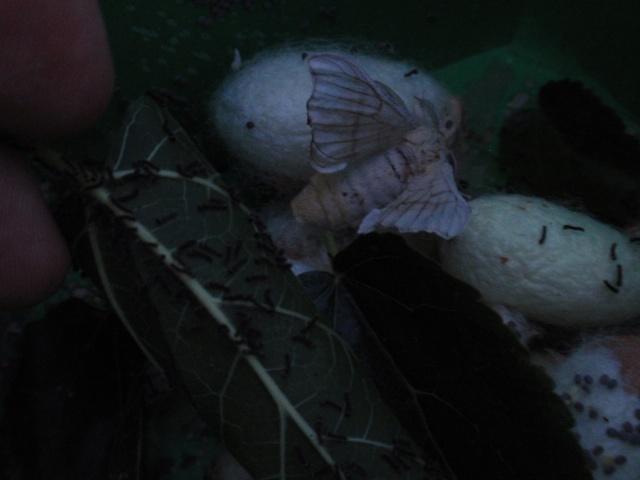 Naciendo ya los Polivoltinos de este año 2012 P6074412