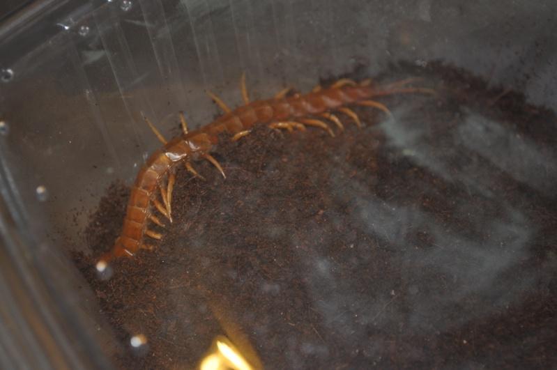 Scolopendra gigantea (South American Giant Centipede) Carrib10