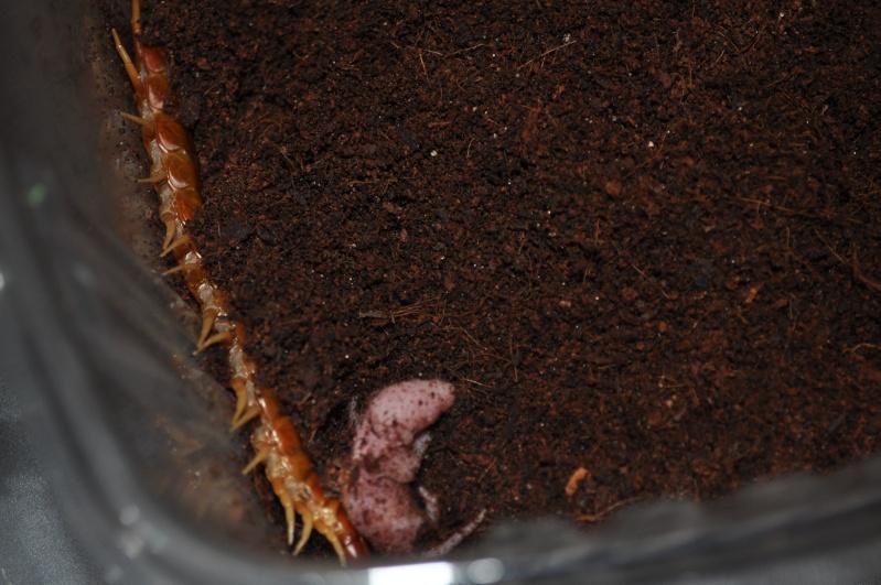 Scolopendra gigantea (South American Giant Centipede) Carrib11