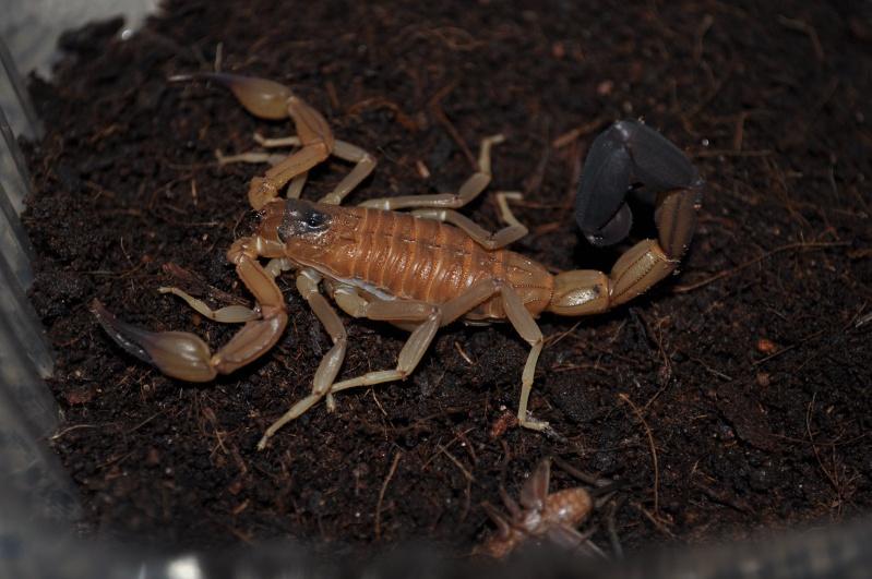 Babycurus gigas or Rhopalurus junceus ? Dsc_0713