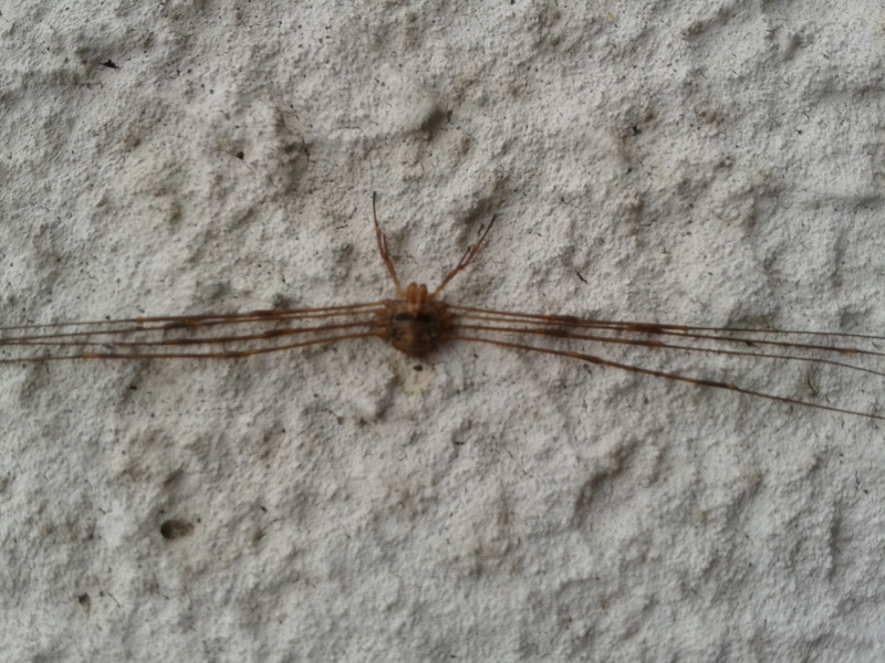 Araignée tete de mort 2012-114