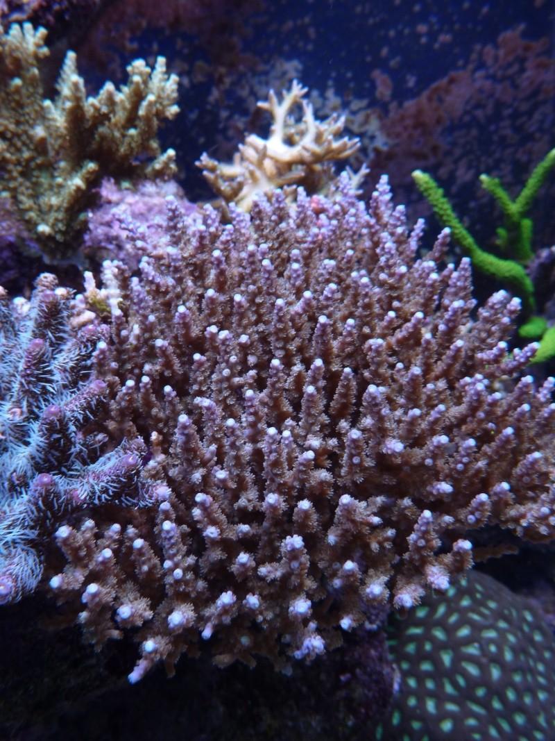 Navarchus Reef Tank Evolution - Page 5 P1000112