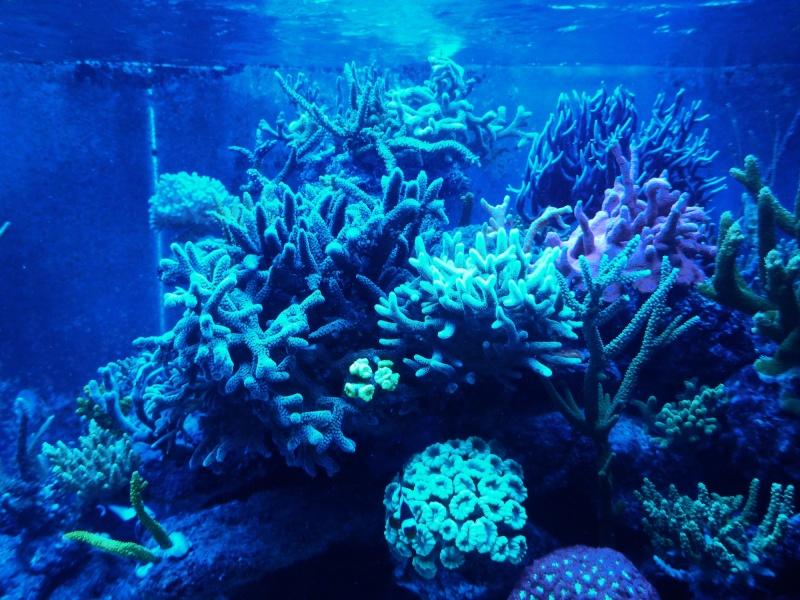 Navarchus Reef Tank Evolution - Page 5 P1000115