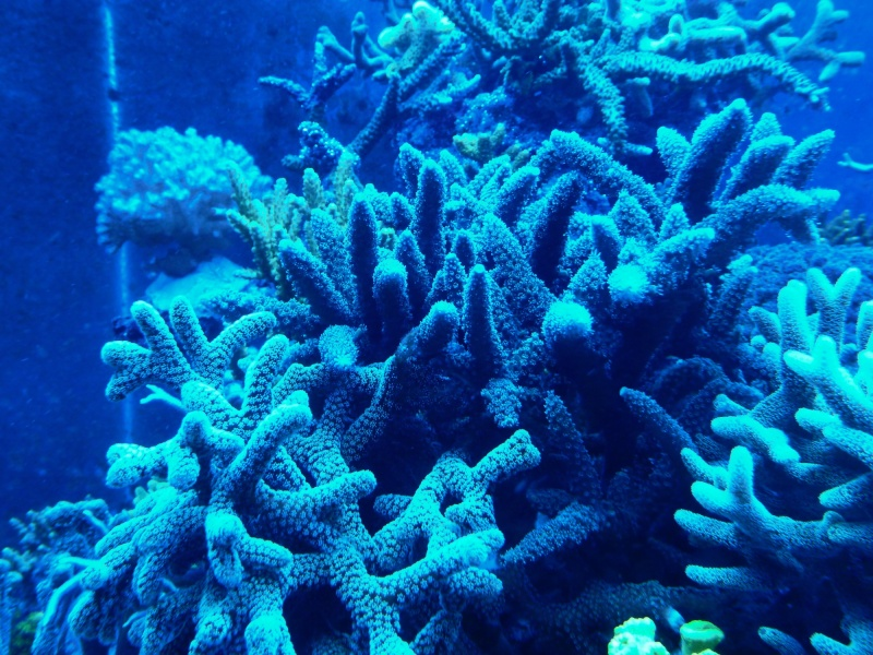 Navarchus Reef Tank Evolution - Page 5 P1000122