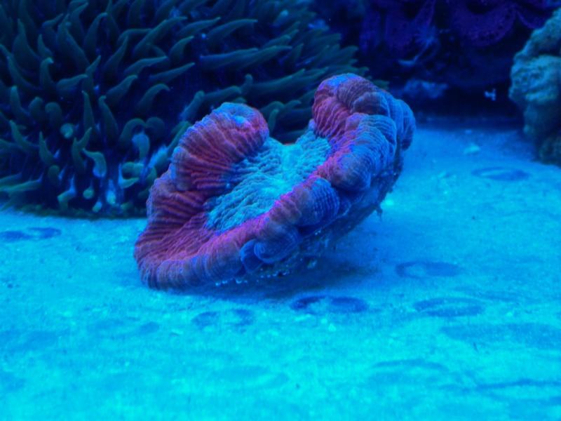 Navarchus Reef Tank Evolution - Page 5 P1000123