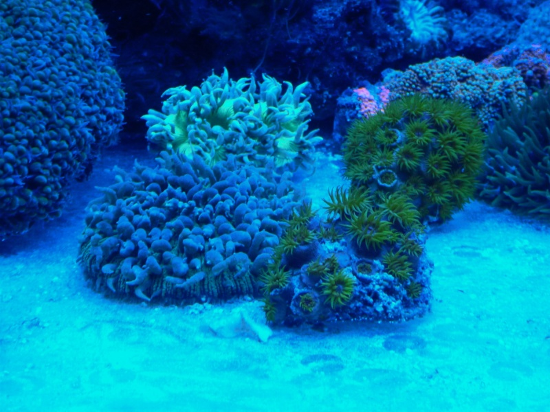 Navarchus Reef Tank Evolution - Page 5 P1000124