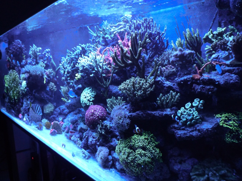 Navarchus Reef Tank Evolution - Page 5 P1000134