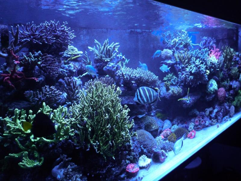 Navarchus Reef Tank Evolution - Page 5 P1000135