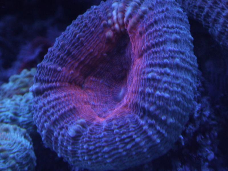 Navarchus Reef Tank Evolution - Page 5 P1000141