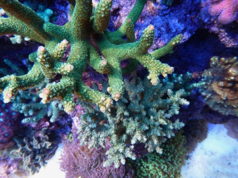 Navarchus Reef Tank Evolution - Page 6 P1000315