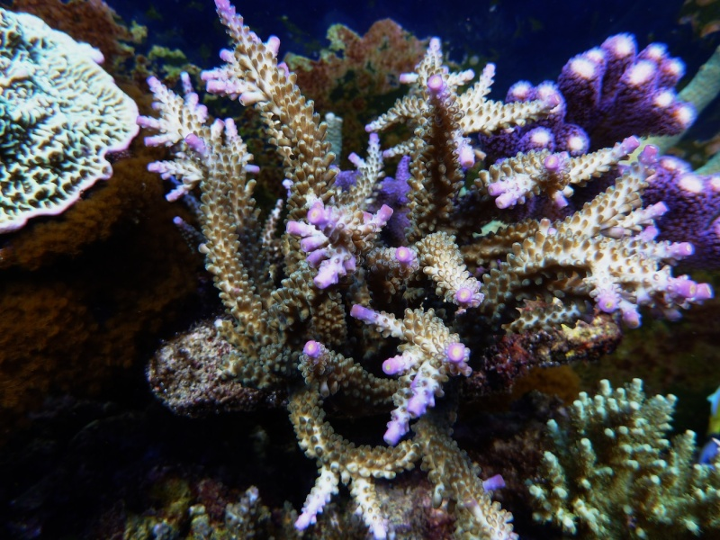 Navarchus Reef Tank Evolution - Page 6 P1000336
