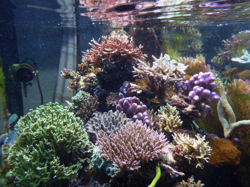 Navarchus Reef Tank Evolution - Page 6 P1000412