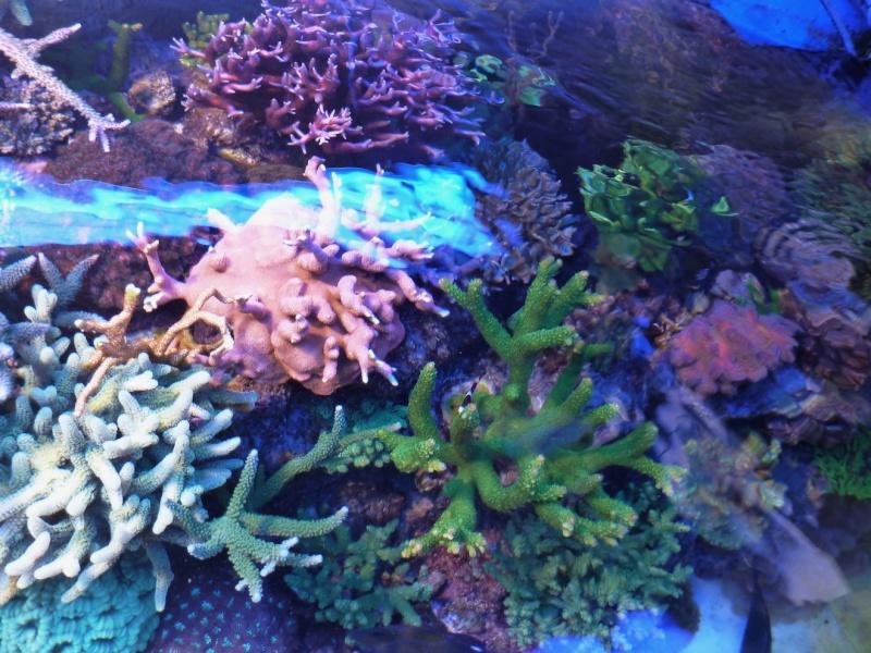 Navarchus Reef Tank Evolution - Page 6 P1000414