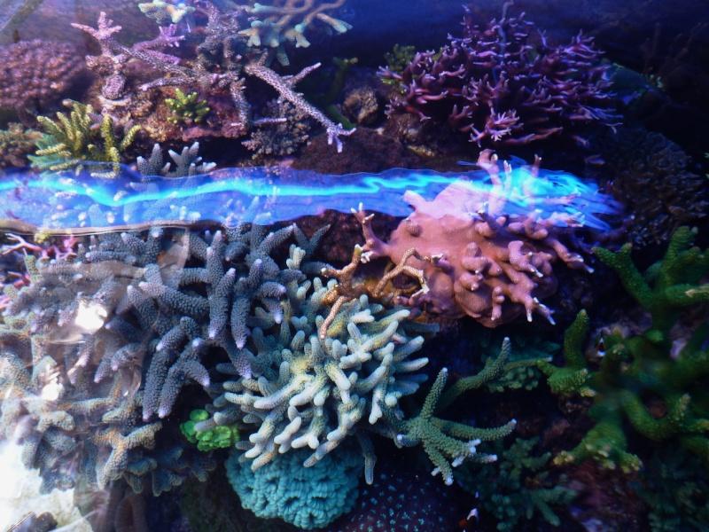 Navarchus Reef Tank Evolution - Page 6 P1000415