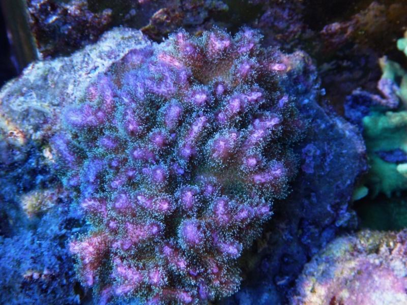 Navarchus Reef Tank Evolution - Page 6 P1000425