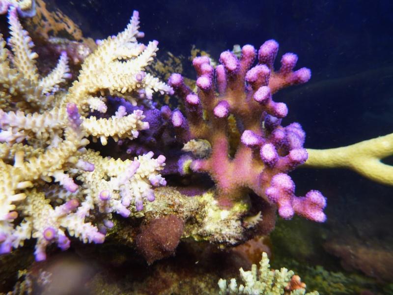 Navarchus Reef Tank Evolution - Page 6 P1000912