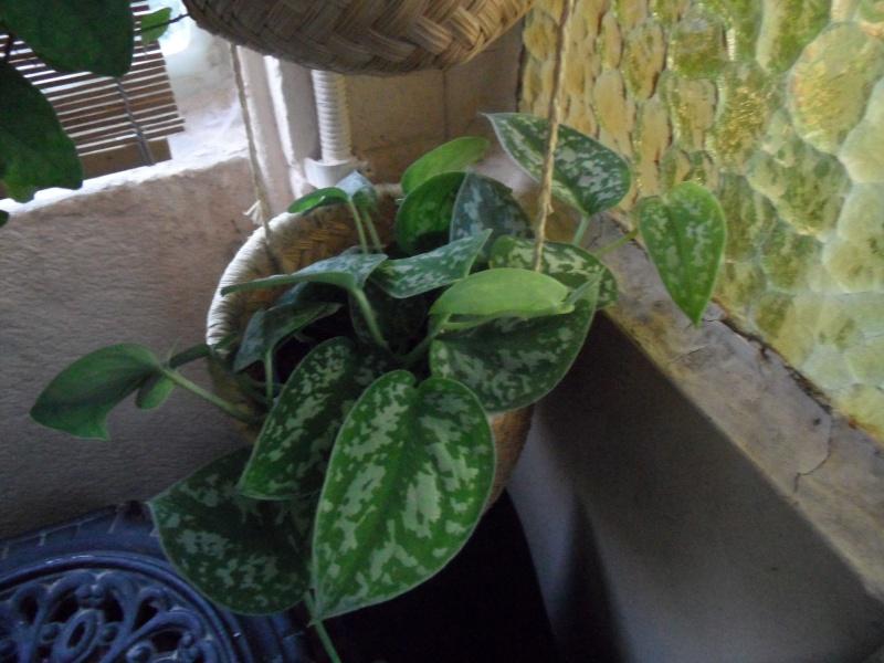 Identification plantes intérieur 00319