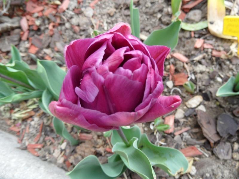 Tulipe 2012  00422