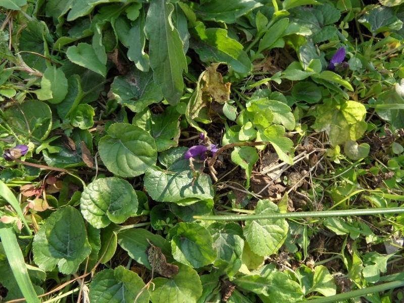 Les violettes - Page 5 01116
