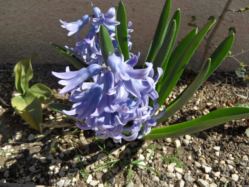 Jacinthe , Hyacinthus - Page 4 01616