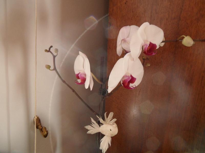 Phalaenopsis - Page 20 Sam_1010