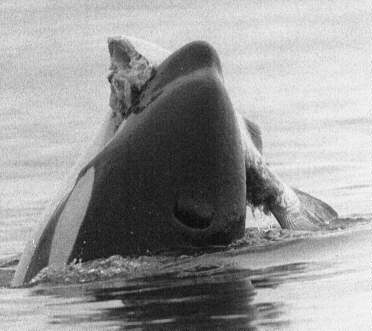 Photos d'orque et leurs proies - Page 5 Feedin10