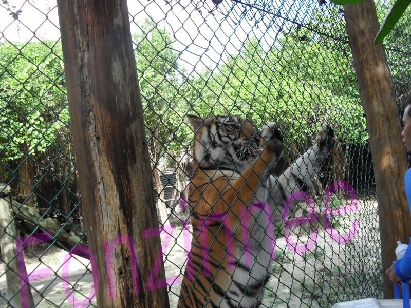 Dauphin de la république dominicaine Tigre310