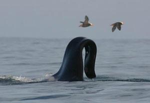 orque - Orque libre mais avec aileron dorsal plier  Untitl11