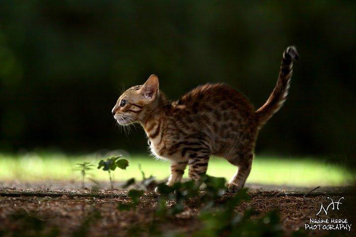 Leopardcats Lady Bump (Une jolie surprise ...)  25461110