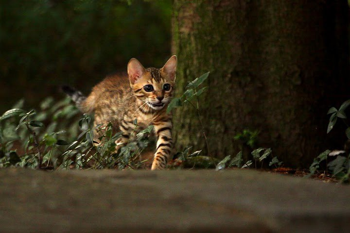 Leopardcats Lady Bump (Une jolie surprise ...)  29807510