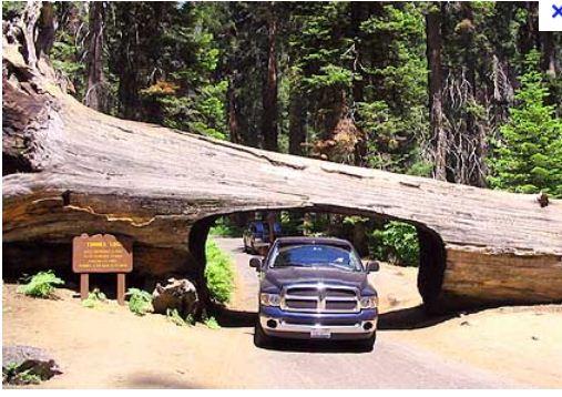Des arbres pour les boiseux Sequoi10