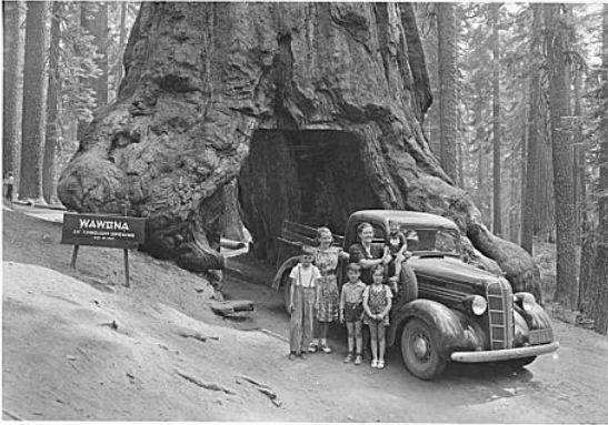 Des arbres pour les boiseux Sequoi11