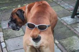 Des chiens cobayes de savants-fous.... (XXème) Boxer11