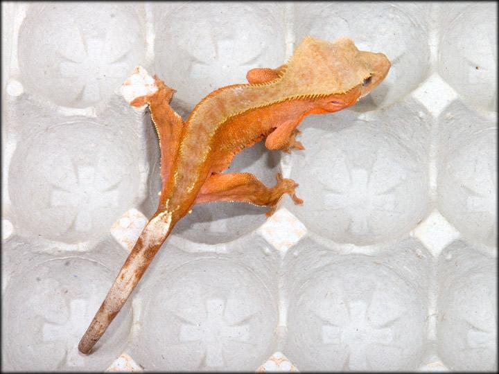 couleur , sorte de gecko a crete  Bicolo10