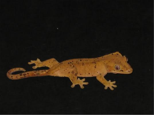 couleur , sorte de gecko a crete  Dalmat11