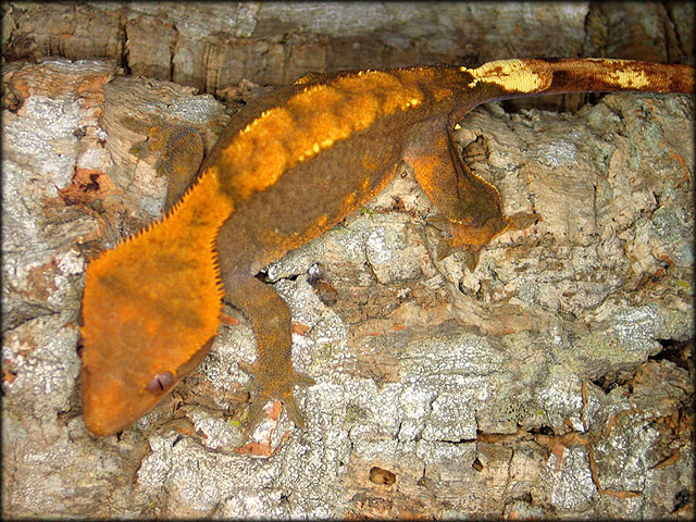 couleur , sorte de gecko a crete  Fire10