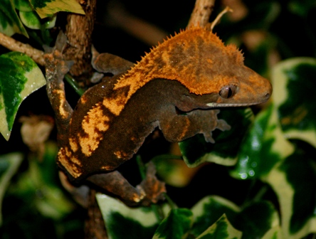couleur , sorte de gecko a crete  Harleq10