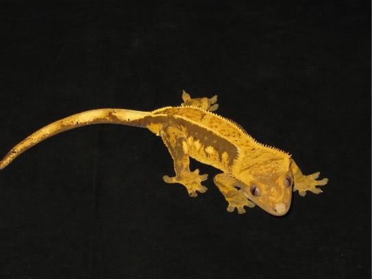 couleur , sorte de gecko a crete  Lignes10