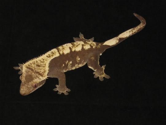 couleur , sorte de gecko a crete  Noir_e10