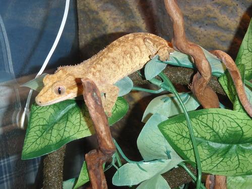 moi j`ai des gecko a crete Orfae10