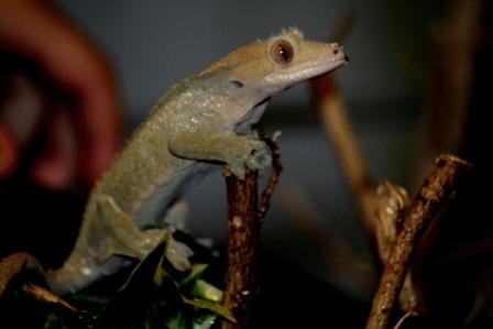 couleur , sorte de gecko a crete  Patter10