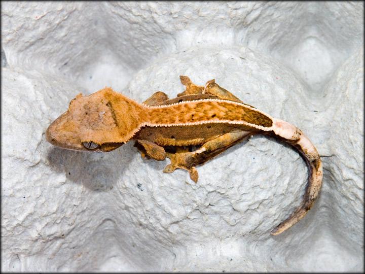 couleur , sorte de gecko a crete  Pinstr10
