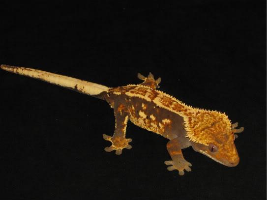 couleur , sorte de gecko a crete  Pinstr11