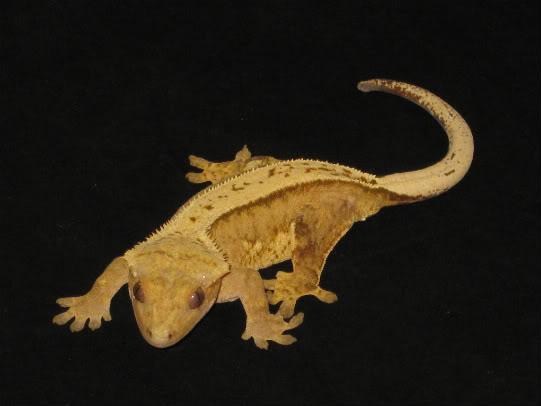 couleur , sorte de gecko a crete  Pinstr13