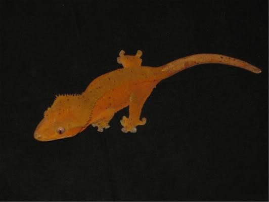 couleur , sorte de gecko a crete  Red_da10