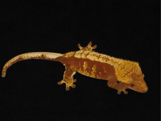 couleur , sorte de gecko a crete  Red_ha10