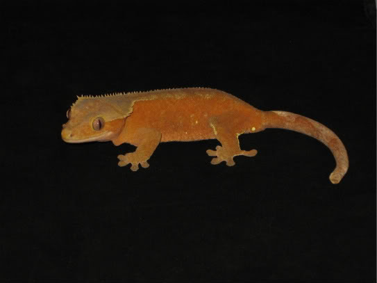 couleur , sorte de gecko a crete  Rouge_10